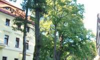 Witoszow_Gorny_-_park_dworski_-_potrojna_lipa_w_tle.jpg